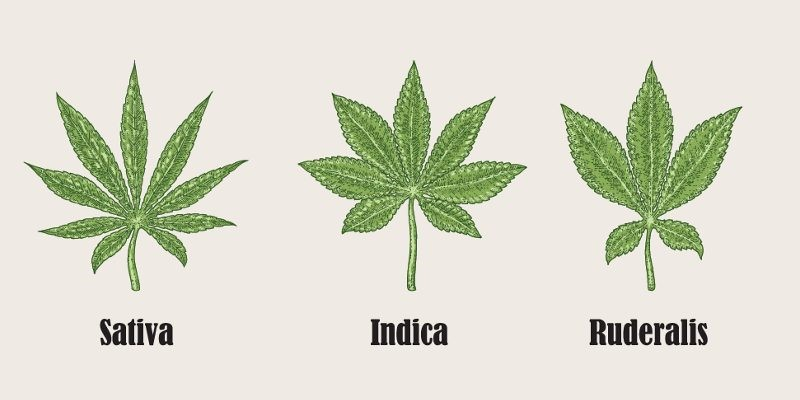 Cannabis Ruderalis – The Differences
