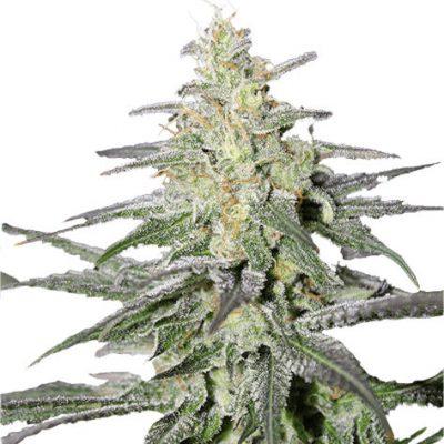Super silver Haze Cannabis Plant