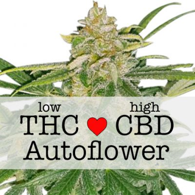 Critical Mass CBD Autoflower Strain Seeds