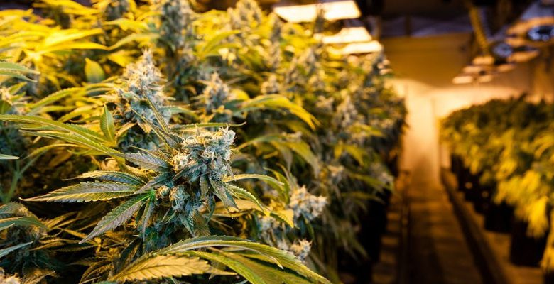 Best Advice For Growing Cannabis At Home