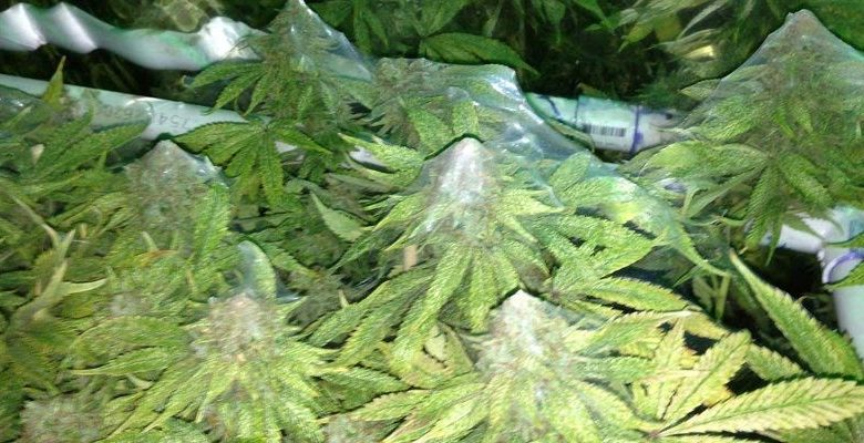 Cannabis Spider Mites – What You Need To Know