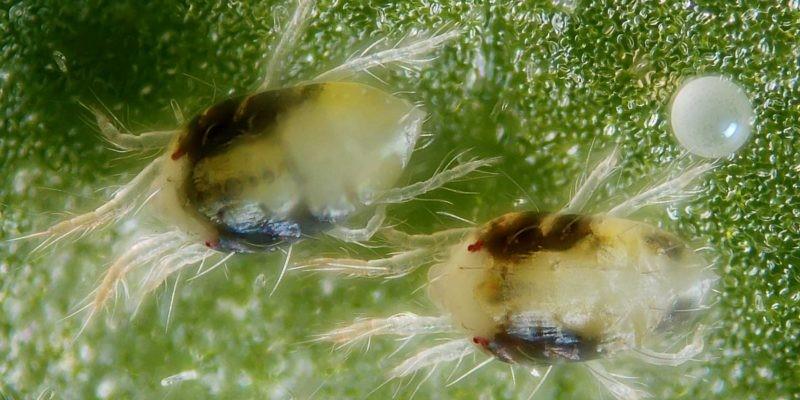 Spider mites on cannabis leaf zoom