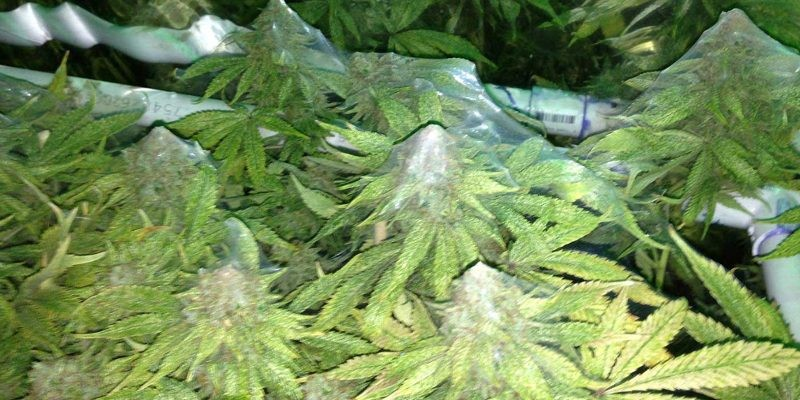 Cannabis Spider mites