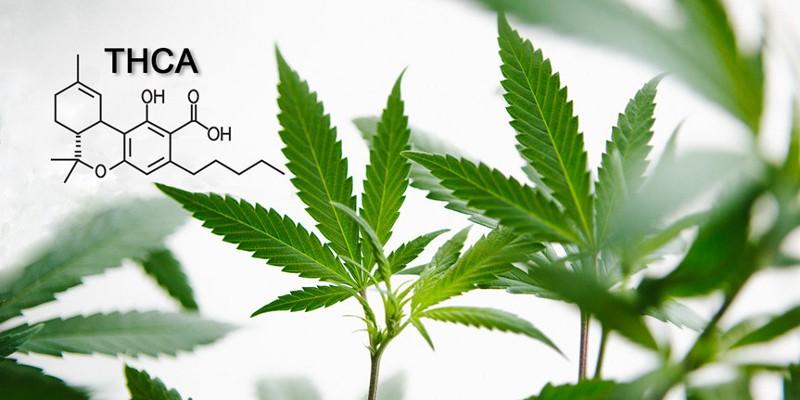 THCA Cannabis Cannabinoid