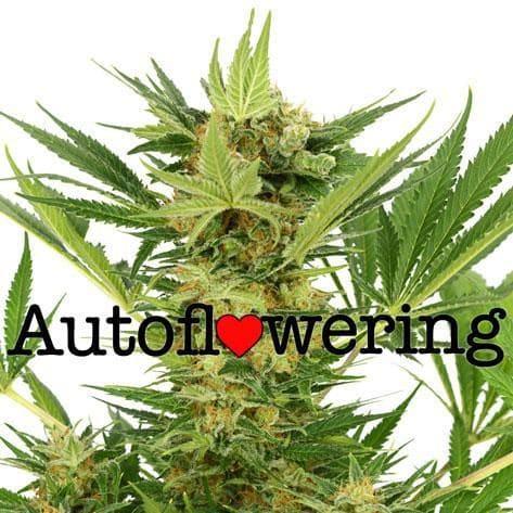 AK47 Autoflower Cannabis Strain