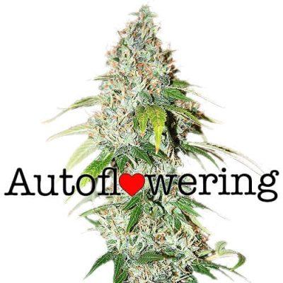 OG Kush Autoflowering Cannabis Plant