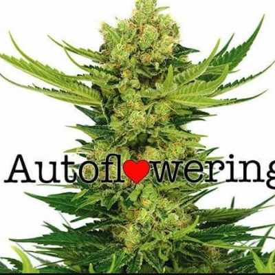 Cheese Autoflower cannabis plant