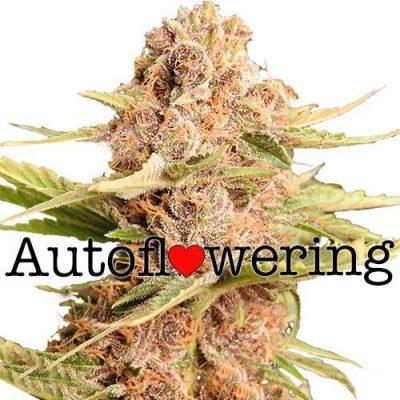 GSC Cannabis Plant