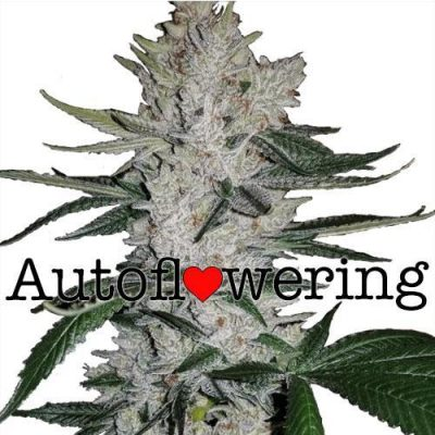 Gorilla Glue Autoflower Cannabis Plant
