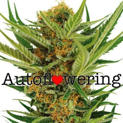 Jack Herer Autoflower Cannabis Plant