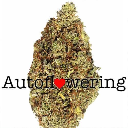 OG Kush Cannabis Bud