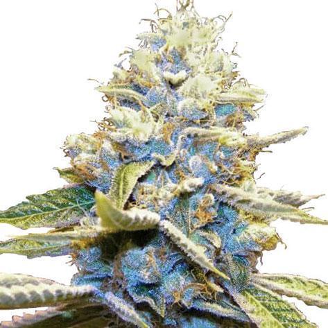 Skywalker OG cannabis Plant seeds