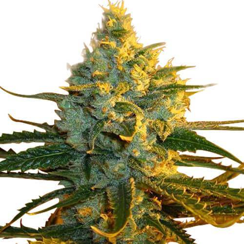 Super Lemon Haze Cannabis plant