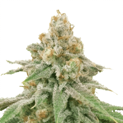 Wedding Cake Cannabis Plant