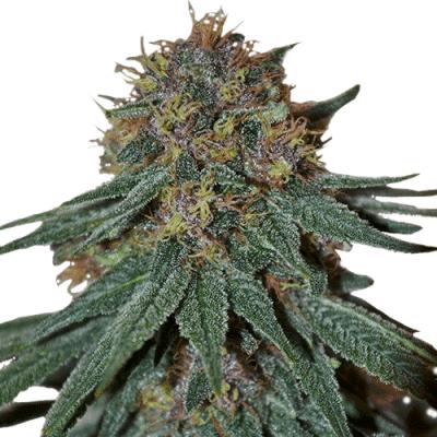 Purple Haze Feminized Cannabis