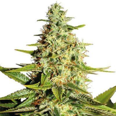 Afghan Cannabis Plant