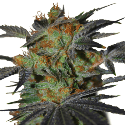 Agent Orange Cannabis Plant by ILGM