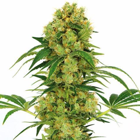 Big Bud Cannabis Plant