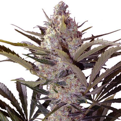 Black Widow Cannabis Plant