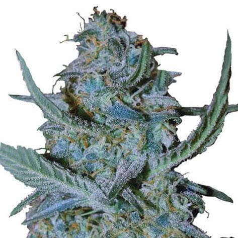 Blue Cheese Cannabis Plant