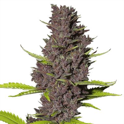 Blue Dream Cannabis Plant