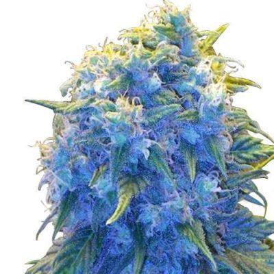 Blue Haze Cannabis Plant Strain