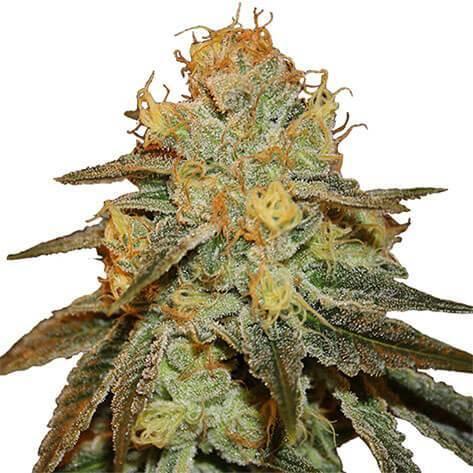 Bruce Banner Cannabis PLant