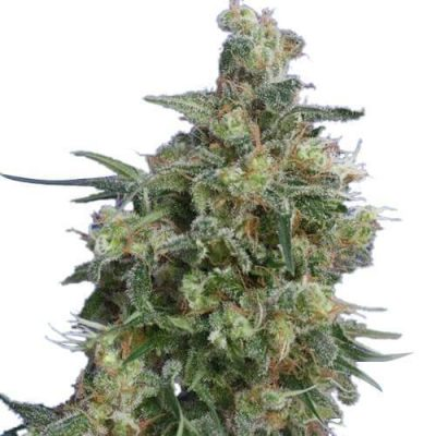 Bubba Kush Cannabis Plant