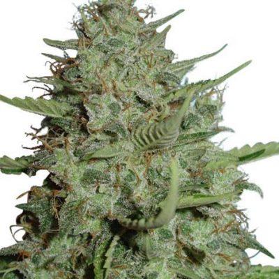 California Dream Cannabis PLant