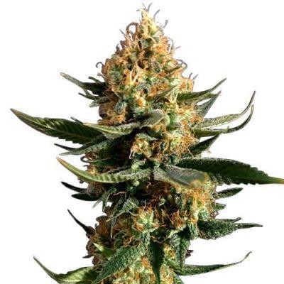 Chemdawg Cannabis Plant