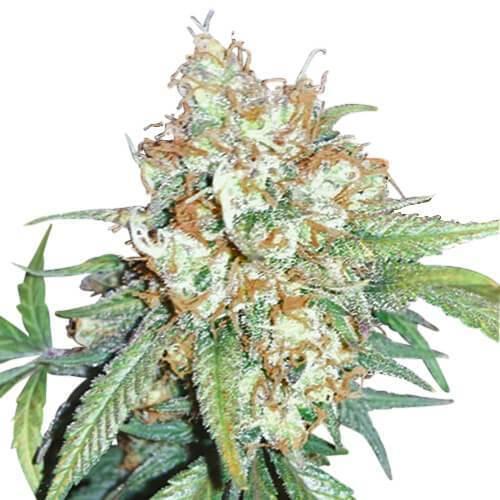 Cherry Pie Cannabis Plant
