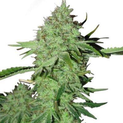 Crystal Cannabis Plant