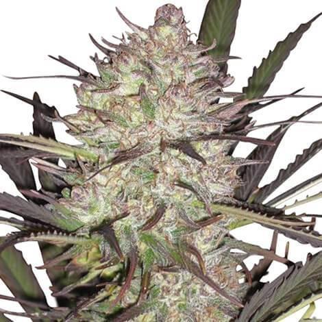Durban Poison Cannabis Plant