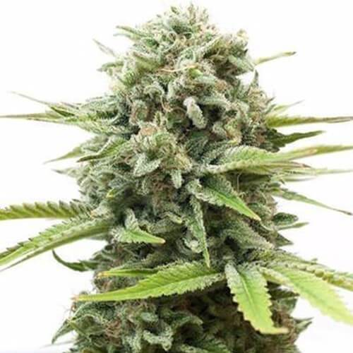 Fire OG Cannabis Plant