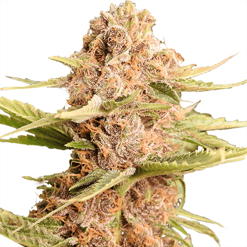 Girls Scout Cookies Extreme