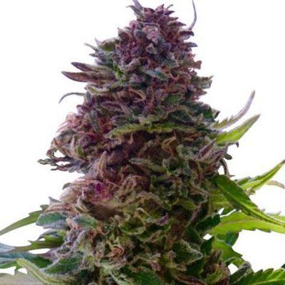 Granddaddy Purple Cannabis strain
