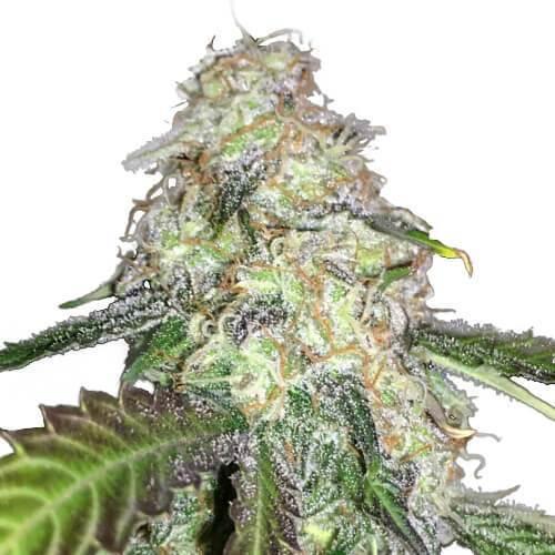LSD Cannabis PLant