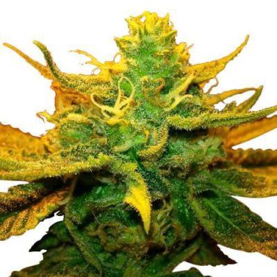 Mango Kush Cannabis PLant