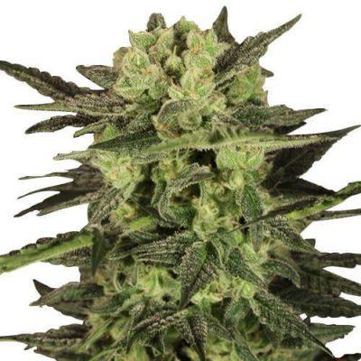 MK Ultra Cannabis Plant