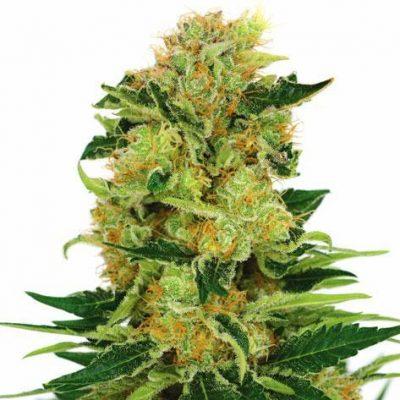 Pineapple Haze Cannabis Plant