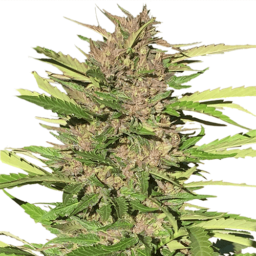 Pure Indica Cannabis Plant