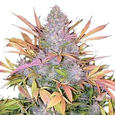 Strawberry Cough cannabis plant