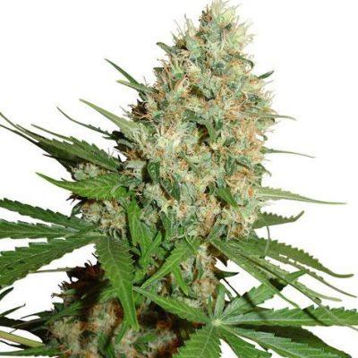 Trainwreck Cannabis Plant