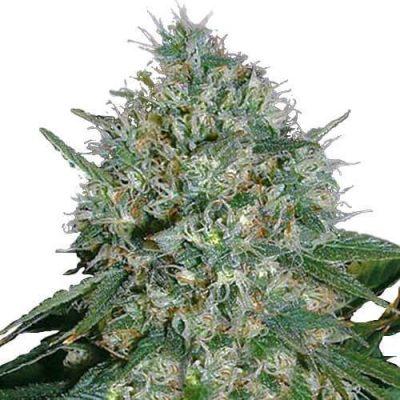 White Rhino Cannabis Plant