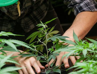 Cannabis Arrests In California Down 27%, But Racial Disparities Increase