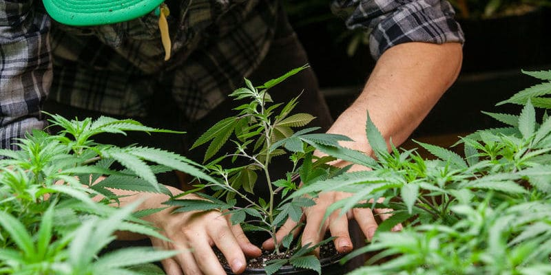 Cannabis Arrests In California Down 27%, But Racial Disparities Increase