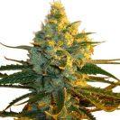 Super Lemon Haze Cannabis plant